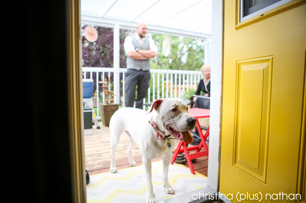 Pit bull with a bowtie at wedding in Calgary backyard